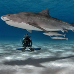 Tiger Shark Meditation